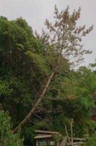 枯れて倒れそうな木