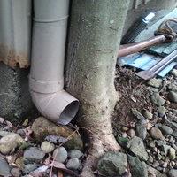 雨樋の横で大きくなった木