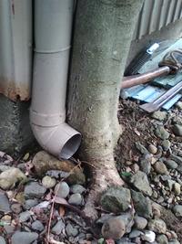 配管の横で育った木