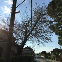 電線に掛かりそうな桜の木